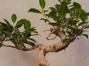Modelando Ficus Microcarpa Tiger Bark toca alambrar