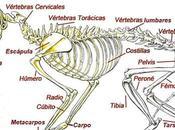 Conoce Anatomía Gato ¿Cuantos Huesos Poseen Estos Adorables Felinos?