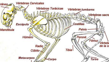 Conoce La Anatomía De Tu Gato – ¿Cuantos Huesos Poseen Estos ...