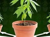 consejos para cultivar marihuana