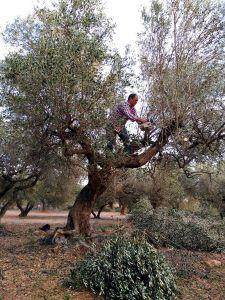 El olivo que quería ser tan bello como la flor del almendro