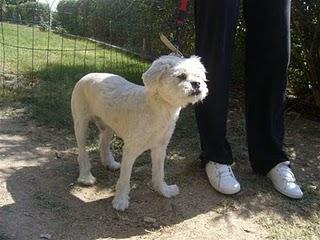 NIBE, perrito tipo lapsa recién perdido en el Retiro. (Madrid)