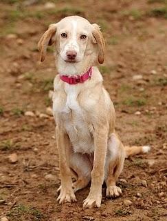Clarita, cachorra que busca hogar. Huesca, (Aragón).