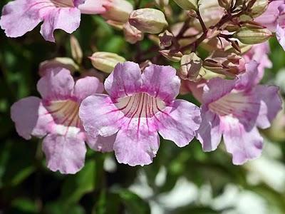 Bignonia rosada - Podranea ricasoliana