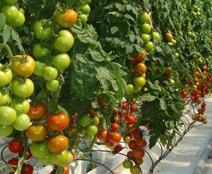 Control Biológico Contra las Moscas Blancas en Tomate