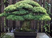 bonsai años sobrevivió Hiroshima