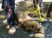 Muere ahogado león operativo planificado