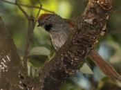 Pijuí frente gris (Sooty-fronted Spinetail) Synallaxis frontalis