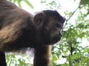 Minea libera tropa mono margariteño Monumento Natural Matasiete Guayamurí