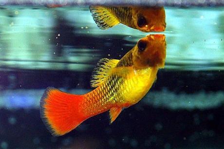 Mejores peces para principiantes agua fr a o climatizada for Los mejores peces de agua fria