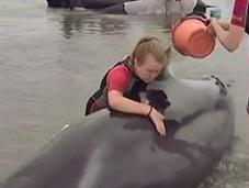 Cientos ballenas varadas Nueva Zelanda (VIDEO)