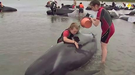 Cientos de ballenas varadas en Nueva Zelanda (VIDEO)