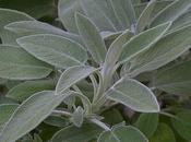 producto herbolario: Salvia