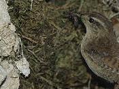 lenguaje aves: imitaciones, dialectos especiación