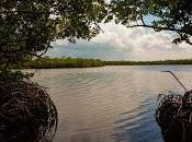 Romerillo costa: especie proteger Manatí