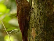 Trepador oscuro (Planalto Woodcreeper) Dendrocolaptes platyrostris