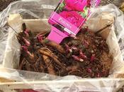 Paeonia lactiflora 'Karl Rosenfield' raíz desnuda (rizomas)