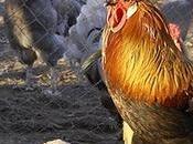 fama gallos Vecilla traspasa fronteras.