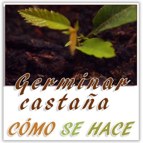 GERMINAR CASTAÑAS EN CASA