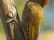Carpintero oliva chico (Little Woodpecker) Veniliornis passerinus
