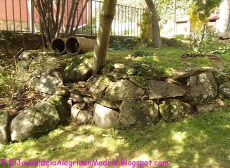 La belleza de lo sencillo y humilde: Cymbalaria muralis (Ruinas de Roma)