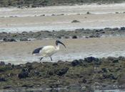 ibis sagrado Llodero