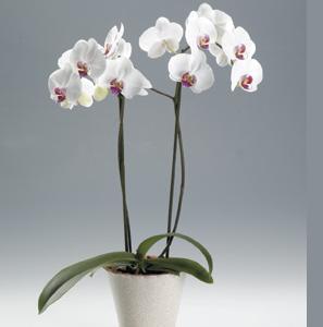 http//jardineriaterranostra.com/osCommerce/images/ORQUIDEA%20BLANCA.