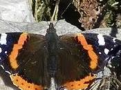 Vanesa, mariposa migratoria