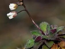 Erophila verna: pequeña temprana primavera