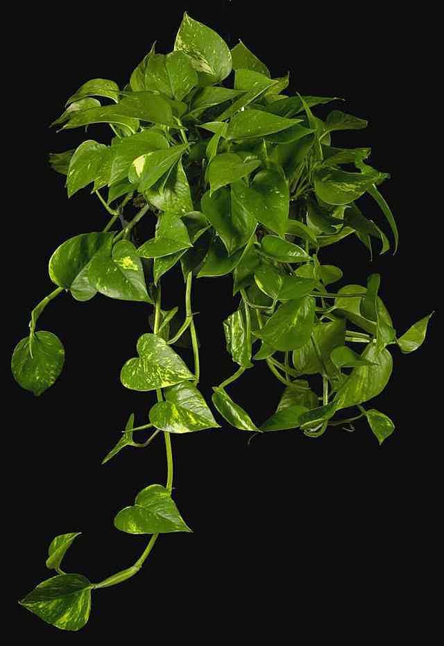 Plantas colgantes para interior paperblog - Variedades de plantas de interior ...