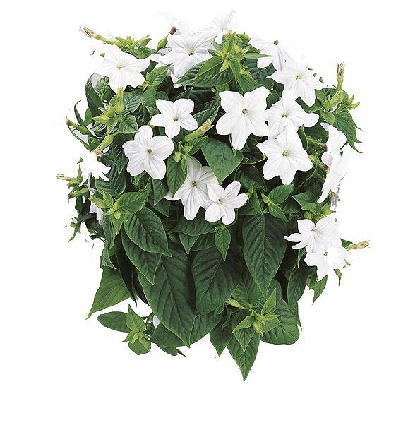 Plantas Colgantes Para Interior Paperblog