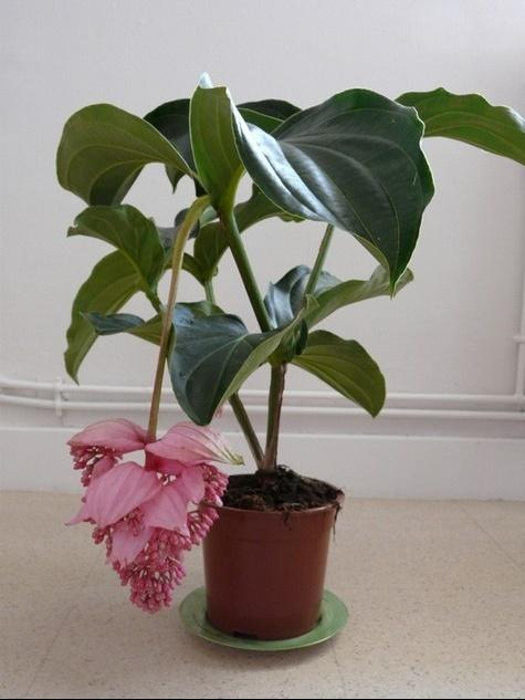 http://images.doctissimo.fr/photo/3654257365/passion-egalement-plantes/medinilla-plante-nterieur-4840591fb9.jpg