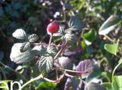 Rosa sempervirens hábitat