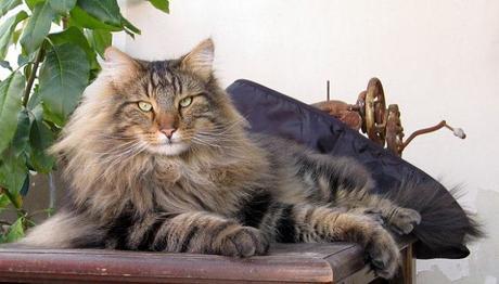 prolapso rectal en gatos