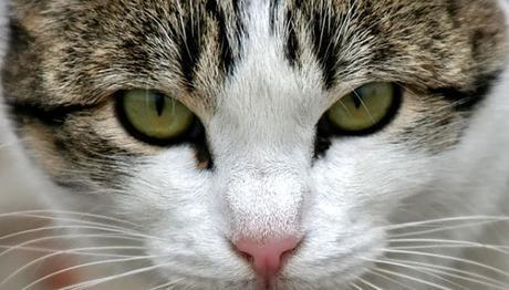 el herpes en gatos debe ser tratado a tiempo
