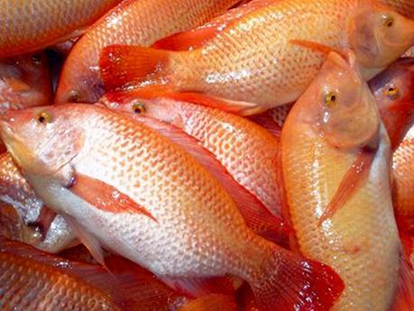 Lleg a cuba la tilapia roja de mar paperblog for Cria de tilapia