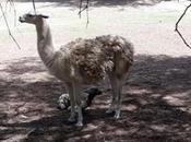 Nace llama albina Parque Tangamanga