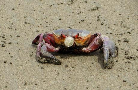 Un cangrejo, en la orilla de la playa Marino Ballena