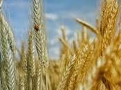 Beneficios características trigo