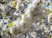 Valle Jerte floración (III). Sumérgete blanco cerezos Valdastillas