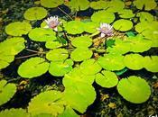 alegre estanque flor loto