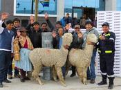 alpacas repotenciarán producción ganadera distrito Condoroma