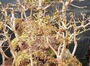 Diorama Acers Campestres primavera