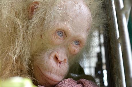 VIDEO: Buscan nombre  para un orangután albino en Indonesia