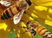 Como recolectan néctar abejas collect nectar bees. (spanish english)