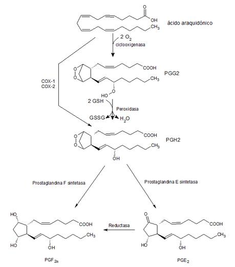 esquema básico de formación de dos prostaglandinas