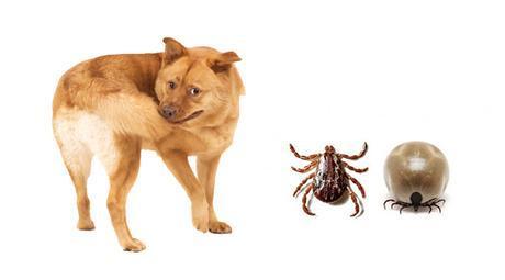 cómo quitar las garrapatas en perros
