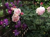 Combinar rosales: Rosa Shropshire Lad' 'Purple Skyliner' buena compañía
