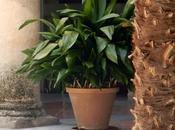 Aspidrista, pilistra planta claustro.