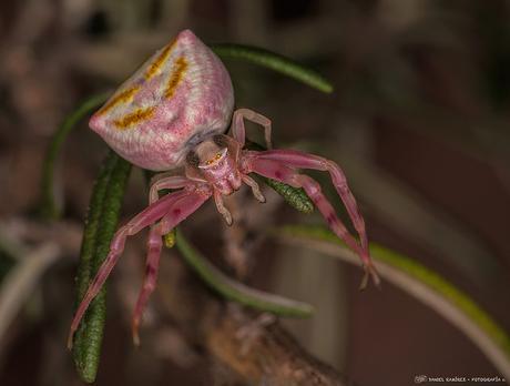 Araña cangrejo rosa (Thomisus onustus)